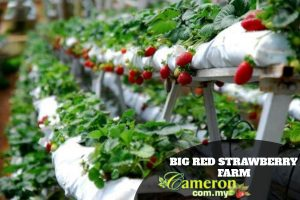 BIG-RED-STRAWBERRY-FARM