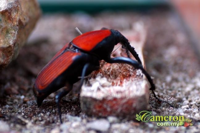 Beetles in Cameron Highlands