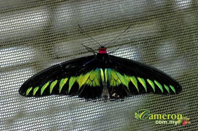 Raja Brooke Cameron Highlands butterfly