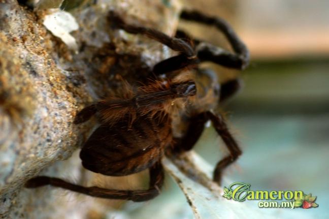Cameron Highlands butterfly farm tarantula exhibit
