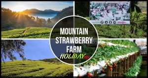 MOUNTAIN STRAWBERRY FARM