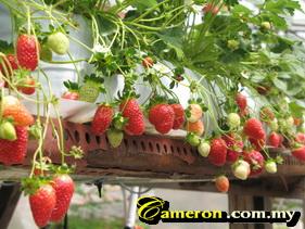 cameron_strawberry_farms
