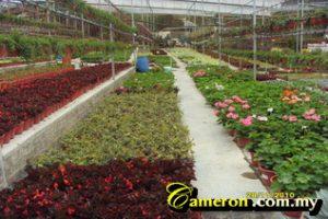 Malaysia Flower nursery Cameron Highlands