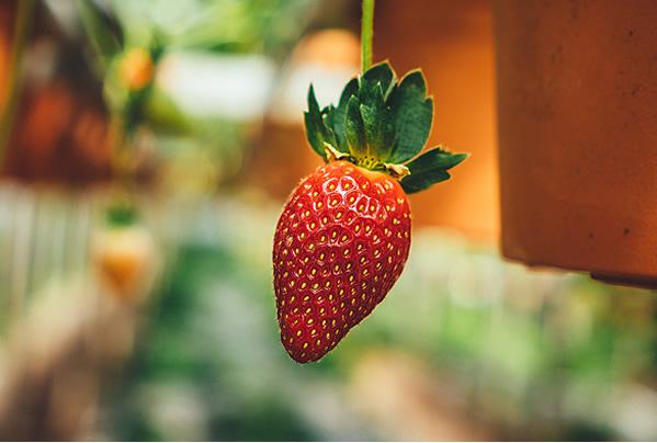 cameron-highlands-big-red-strawberry-farm