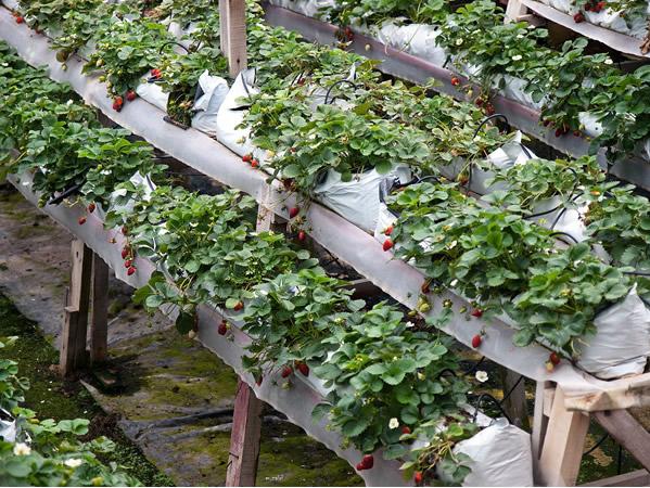 cameron highlands healthy strawberry farm