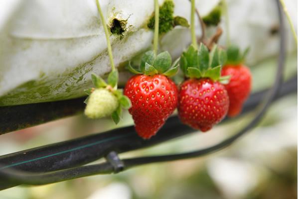 cameron-highlands-kok-lim-strawberry-farm