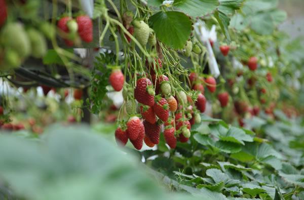 cameron highlands mountain strawberry farm