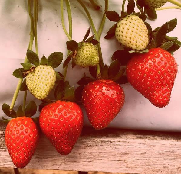 cameron-highlands-raajus-hill-strawberry-farm